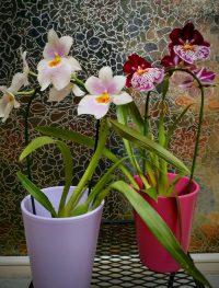 6. Orquídea pequeña 15€